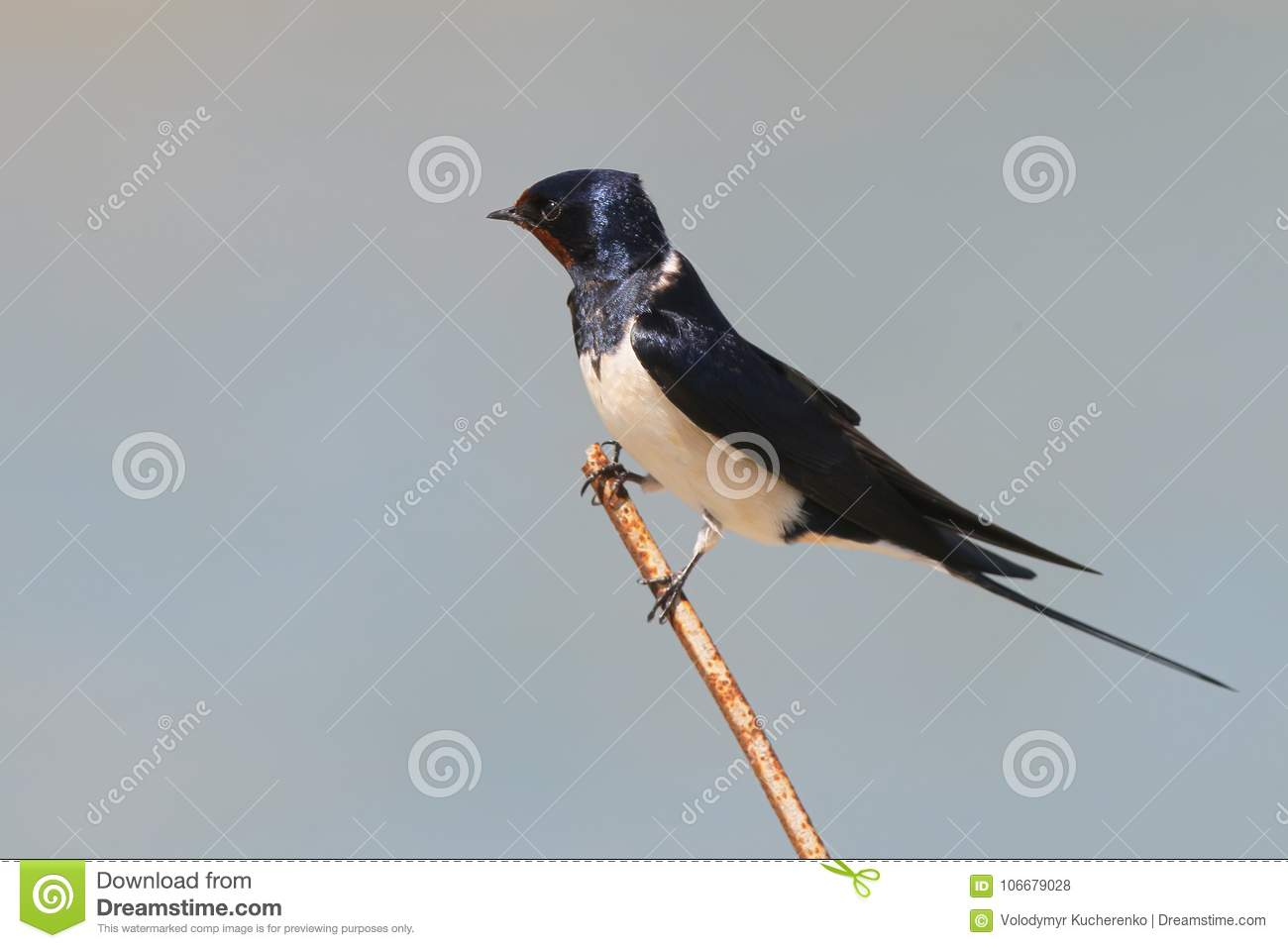 Barn Swallow Sits On A Thin Wire Stock Photo - Image of black ...