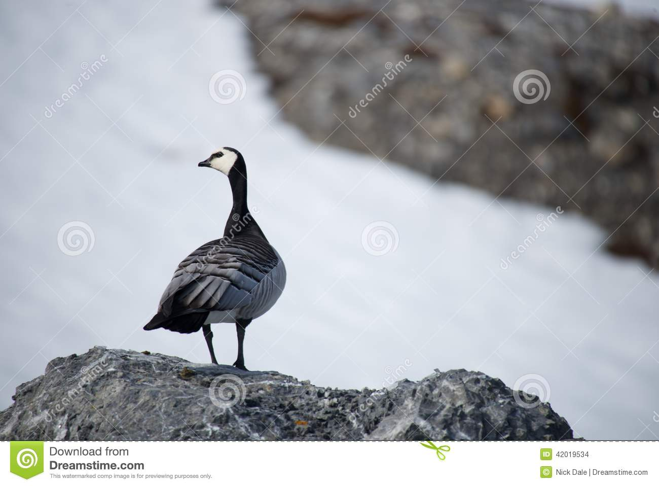 Download Barnacle Goose Perched On Rock Turning Head Stock Photo - Image of stones, goose: 42019534