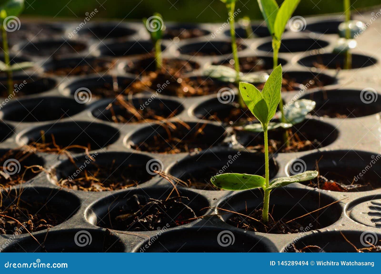 Barnet behandla som ett barn örtväxtplantan på det svarta plantera magasinet