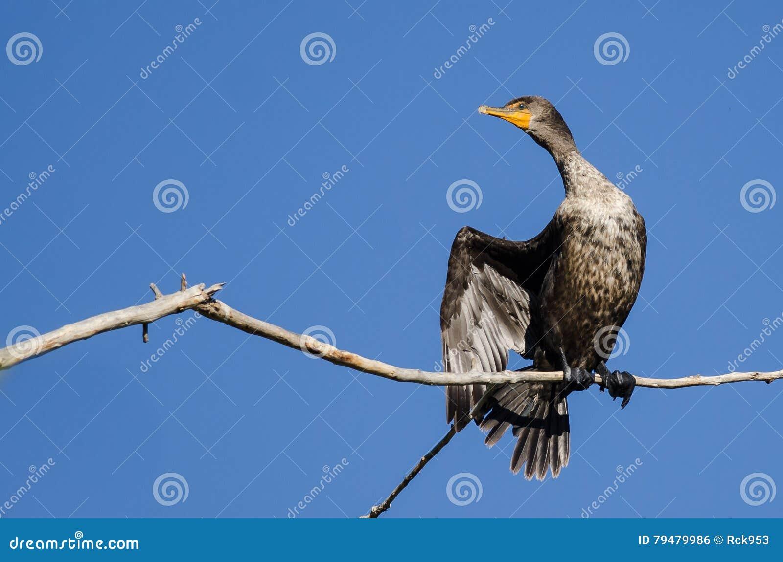 Barnet Dubblett-krönade kormoran som sätta sig i högväxt träd
