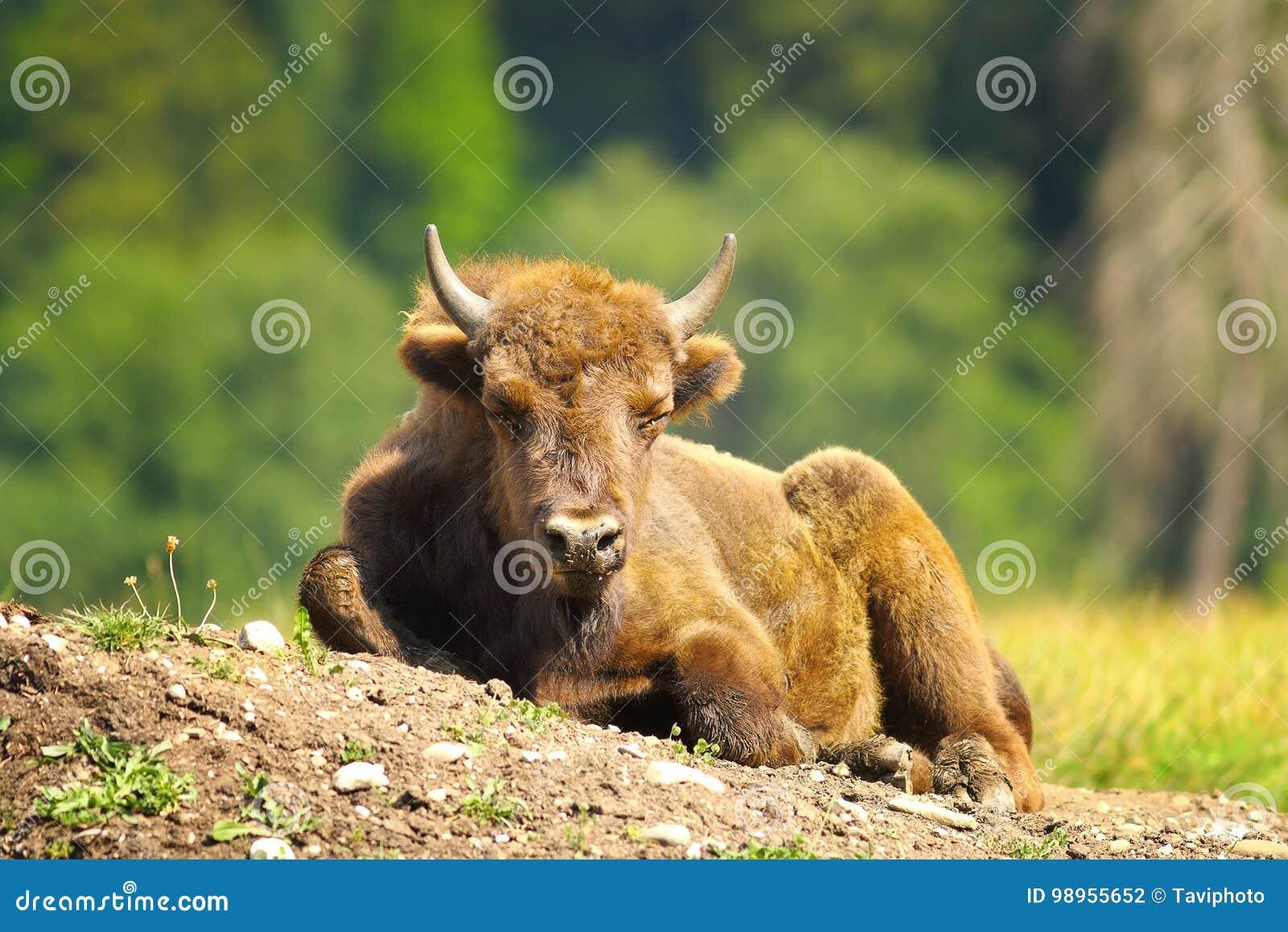 Barnslig europeisk bison
