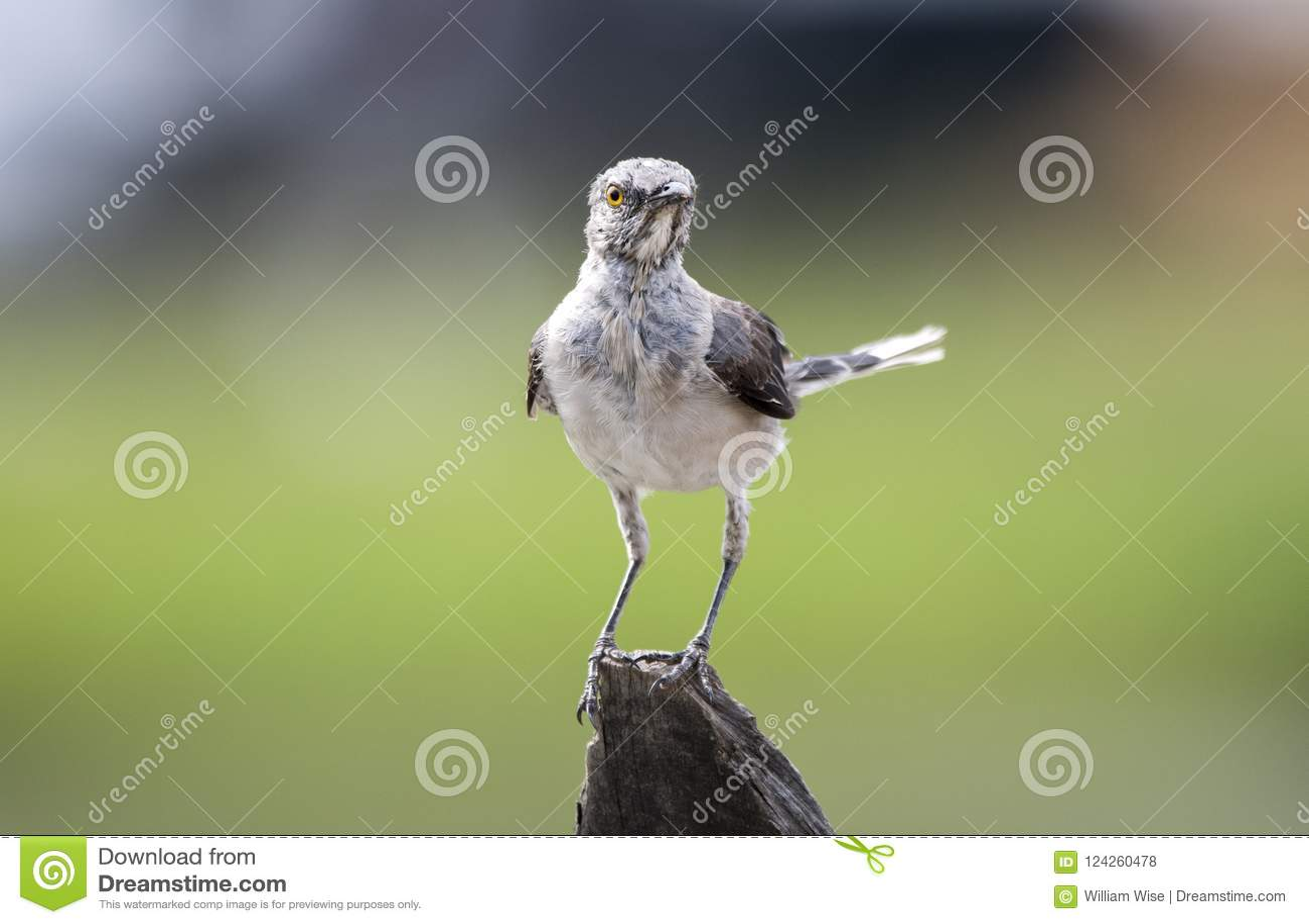 Barnslig nordlig härmfågelruggning, Georgia USA