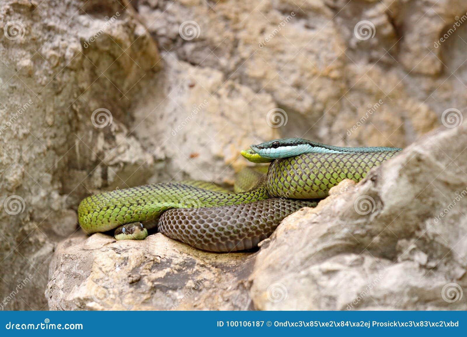 Baroni Philodryas, πράσινος δρομέας βαρώνων ` s, πέτρα κοντά στο βιότοπο ποταμών Σκηνή άγριας φύσης από τη φύση Φίδι από τη Βολιβ