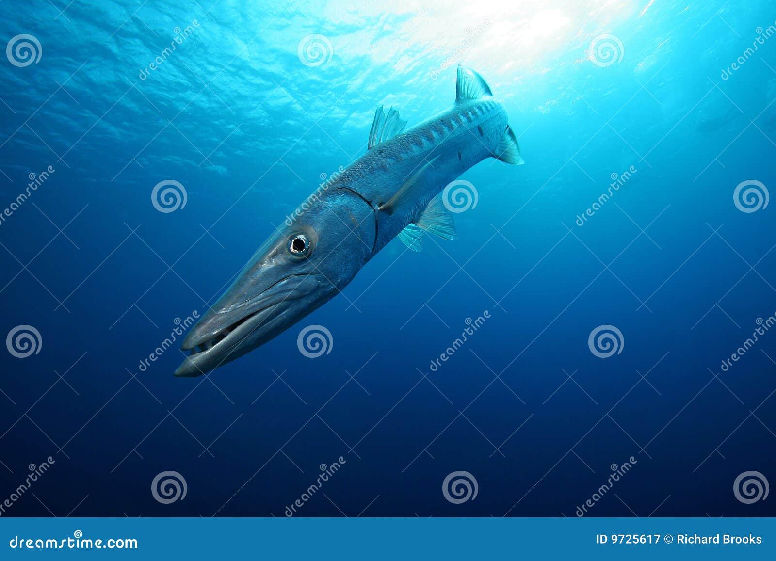 Barracuda in het Blauw