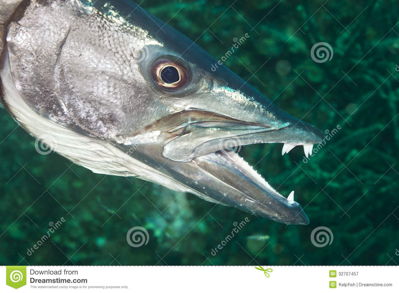 Barracuda royalty free stock photography image 32707457 for Freshwater fish with teeth