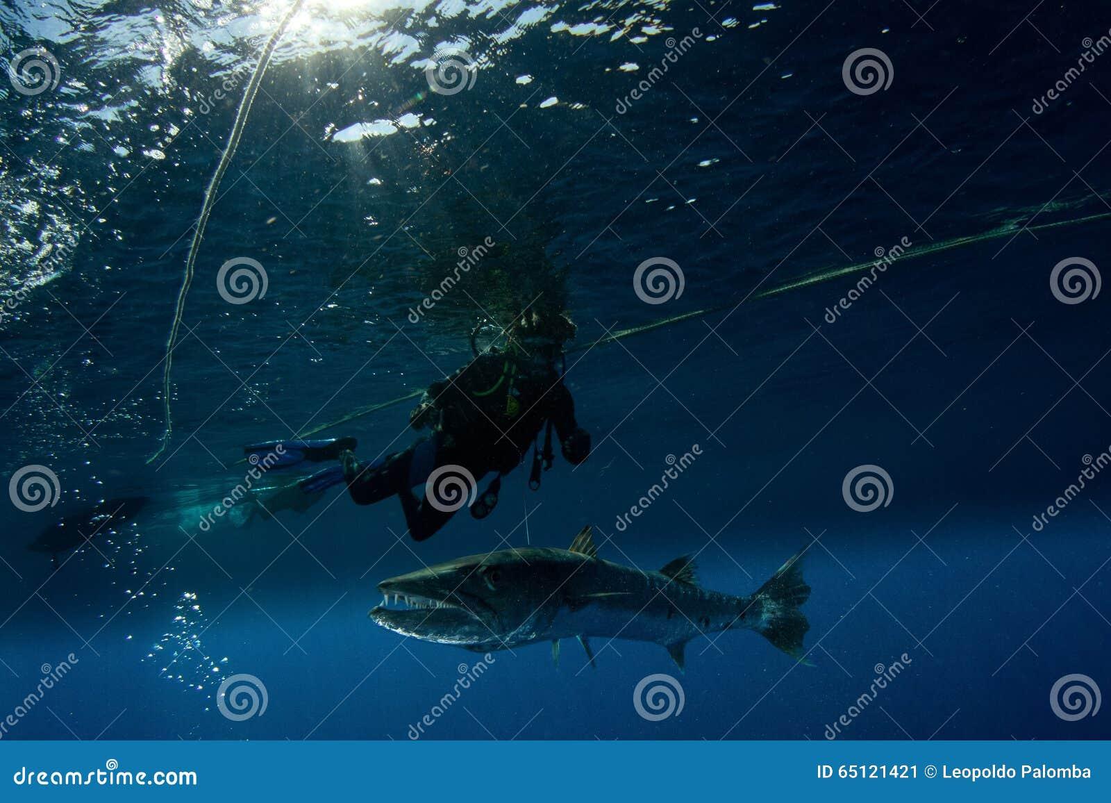 Barracuda and scuba diver