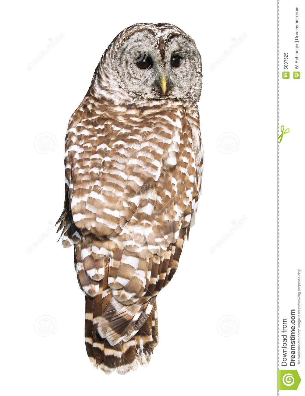 Barred Owl Stock Image Image Of Wings Sorcery Isolated