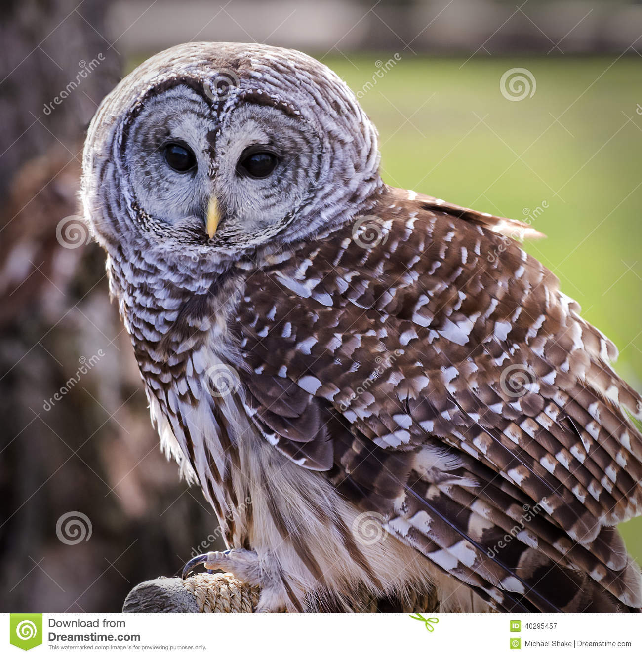 Barred Owl Stock Photo...