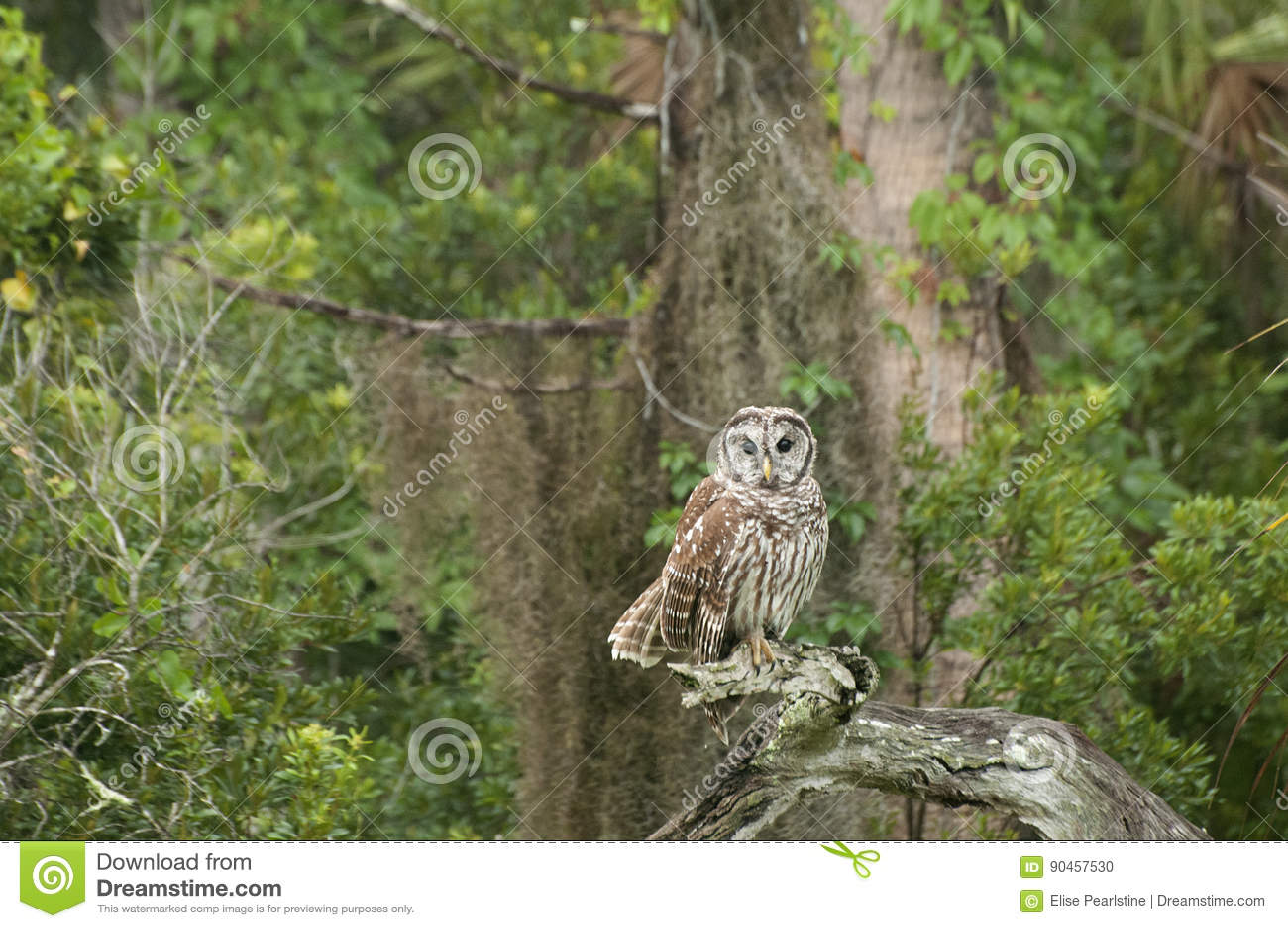 Barred Owl Florida stock photo  Image of varia, northern