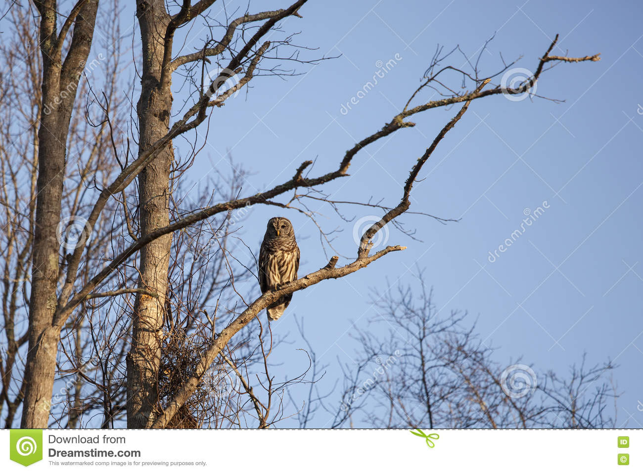 Barred Owl In Natural Habitat Stock Photo - Image of morning