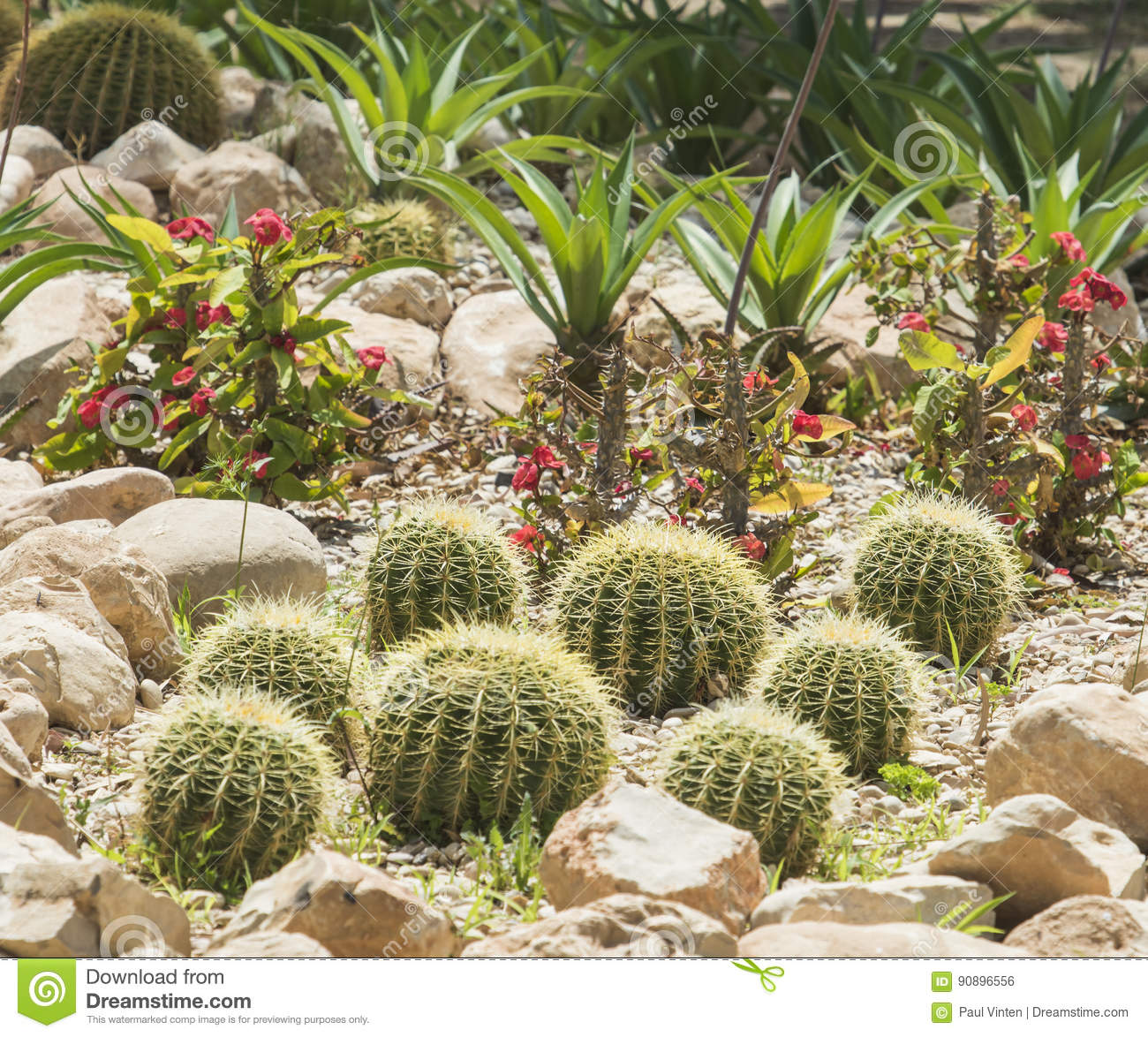 Barrel Cactus Plants In An Arid Desert Garden Stock Photo Image Of