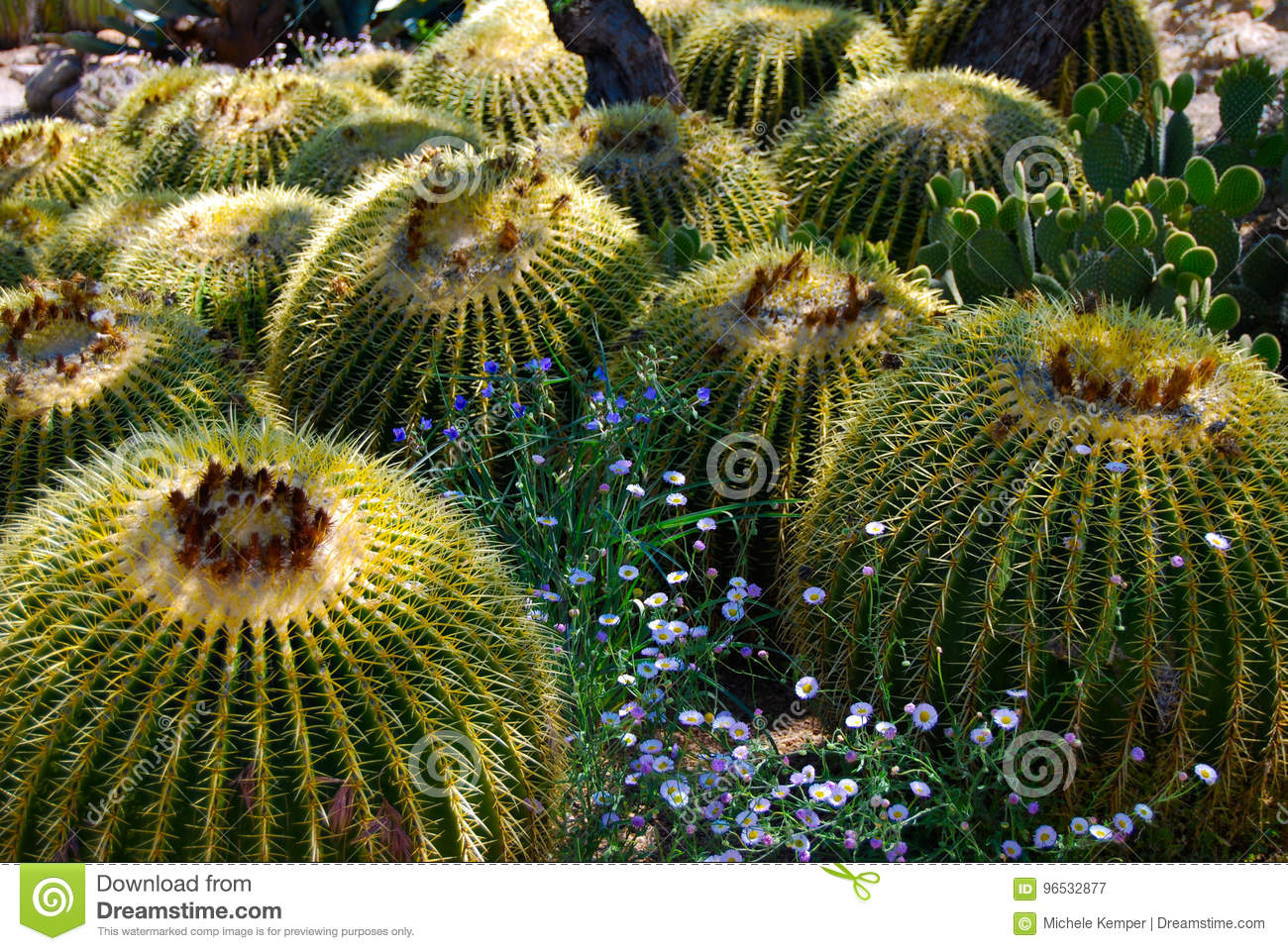 Barrel Cactus with Blue Flowers