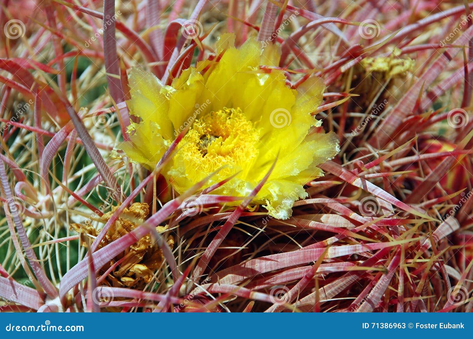 Barrel Cactus With Yellow Flower Near Black Mountain Nevada Stock