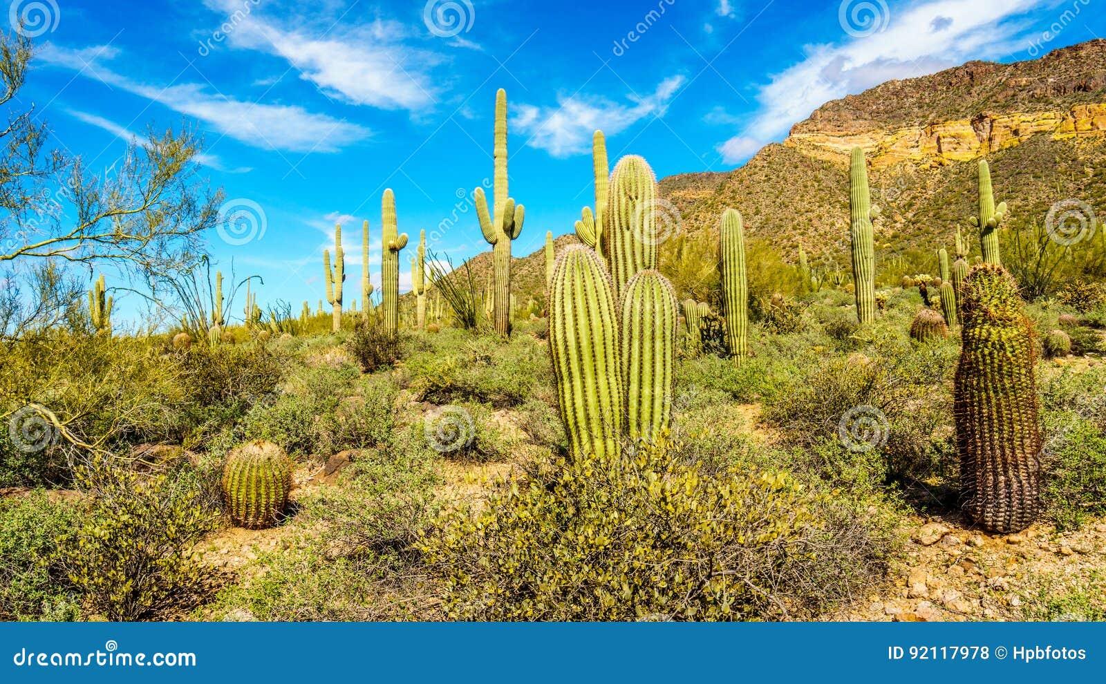 Barrel and Saguaro cacti in the semi desert landscape of Usery Mountain Regional Park near Phoenix Arizona