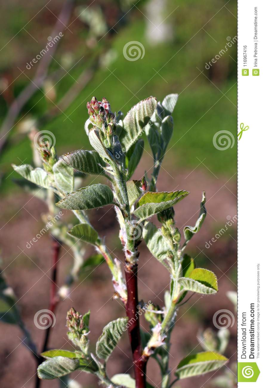 Amelanchier Flower Buds About To Bloom In The Spring Stock Photo