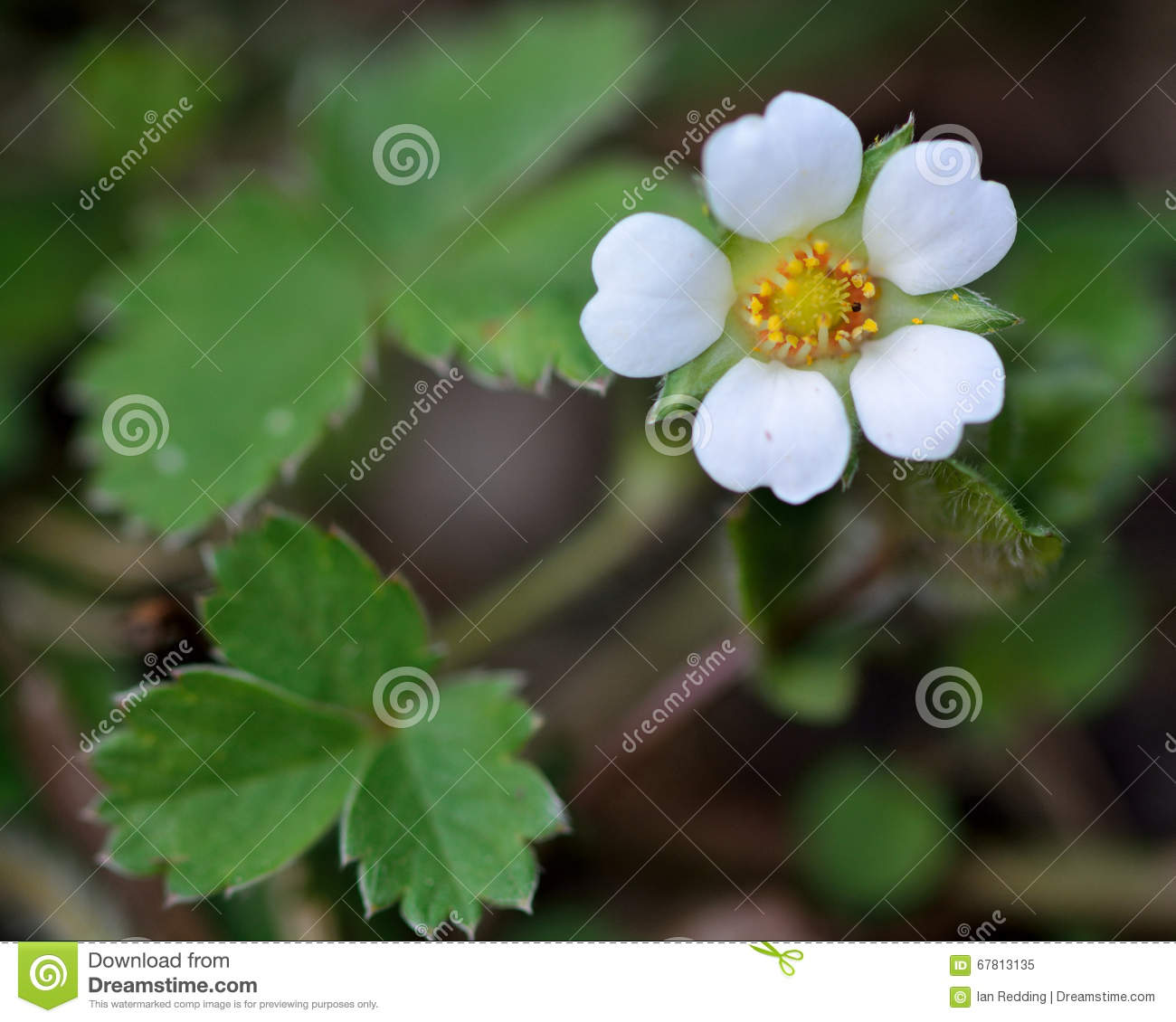 Barren Strawberry Potentilla Sterilis Stock Image Image Of