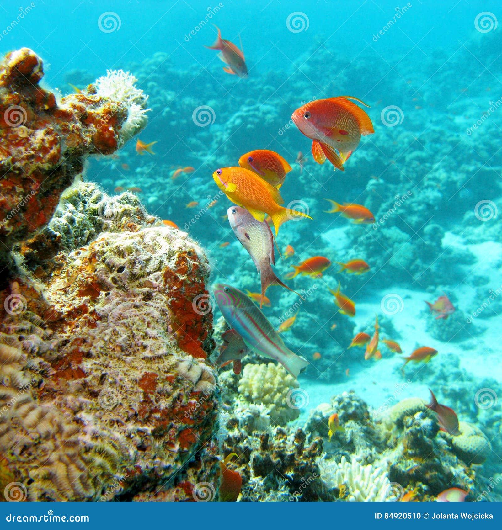 Barriera corallina con il banco dei anthias dello scalefin dei pesci in mare tropicale