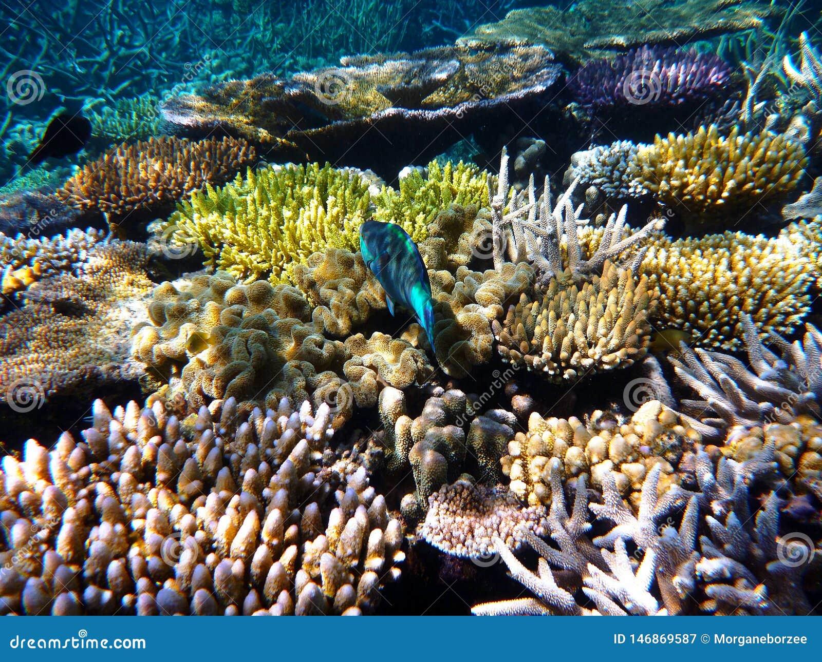 Barriera corallina variopinta con un nuoto blu tropicale del pesce nella Grande barriera corallina