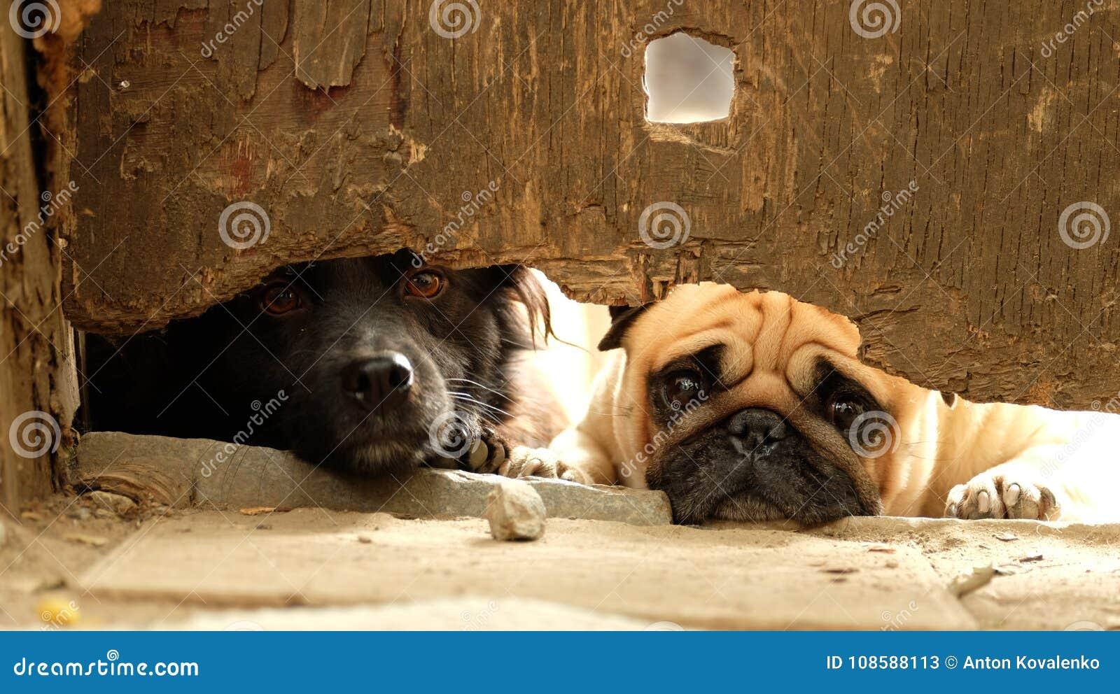 Barro amasado de dos perros que mira hacia fuera de debajo la cerca vieja