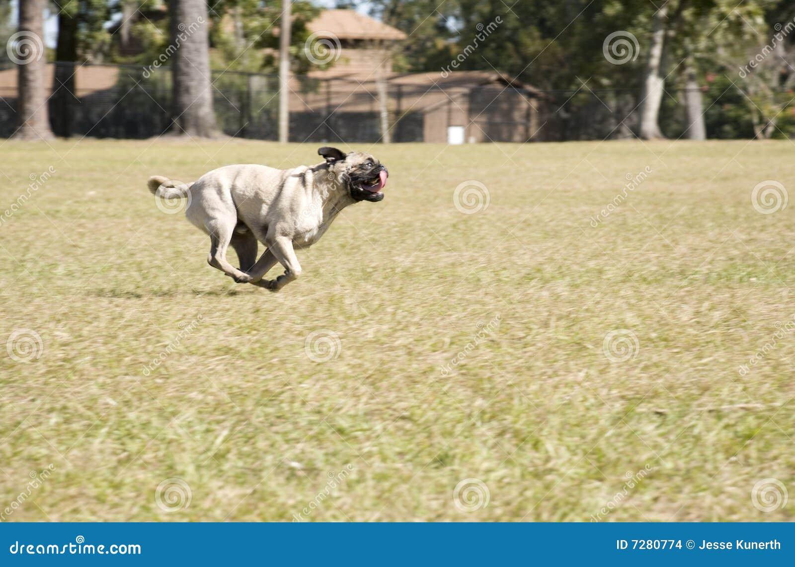 Barro amasado que se ejecuta en el parque del perro