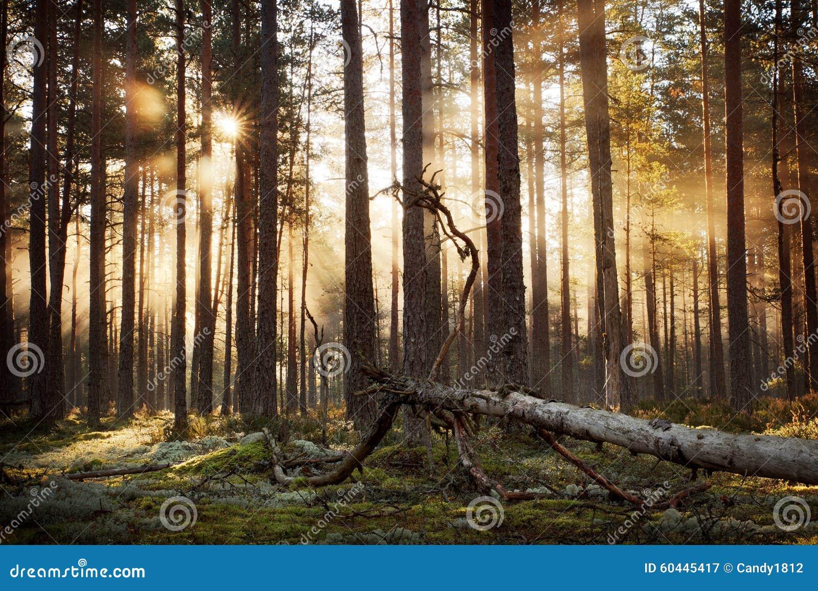 Barrskog med morgonsolen som skiner