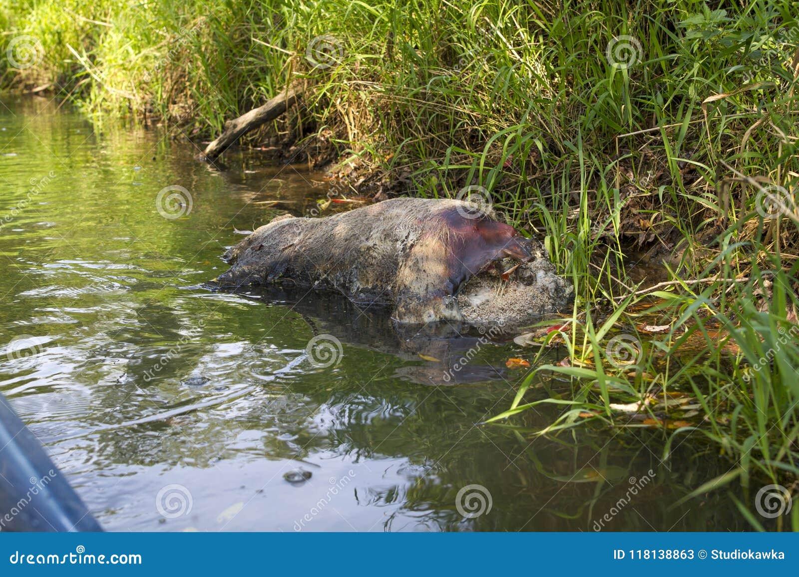 Barwiarski dziki knur na banku rzeka, ASF nieżywy knur