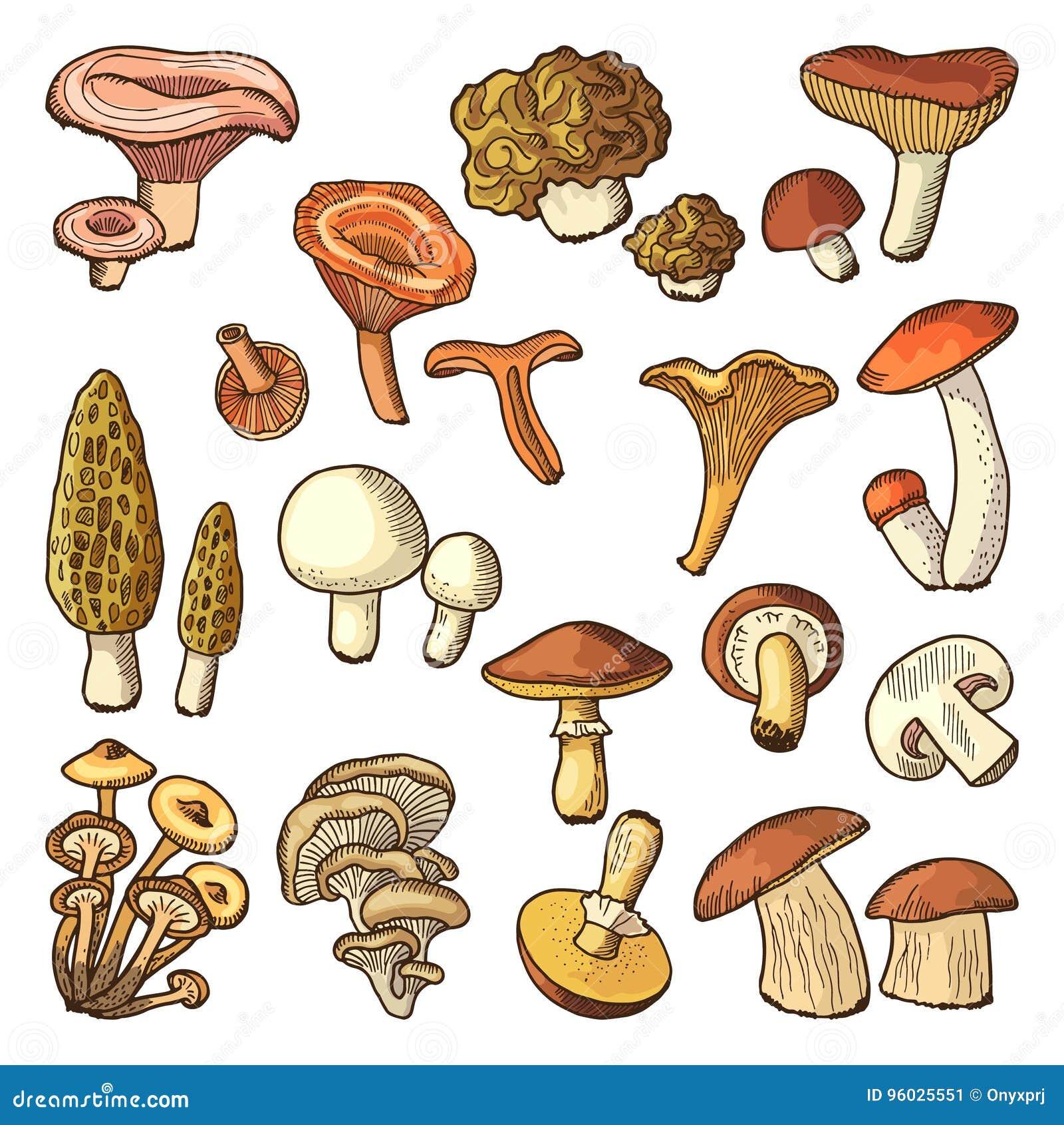 Barwionej natury wektorowe ilustracje pieczarki Trufle i chanterelle, śliski