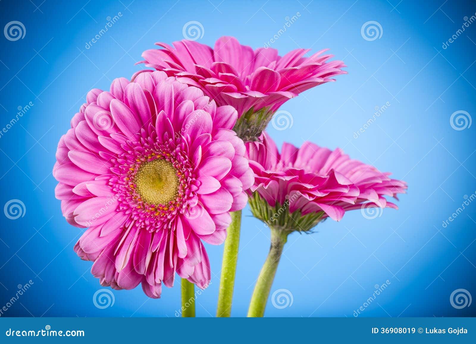 Barwiony gerber kwiat