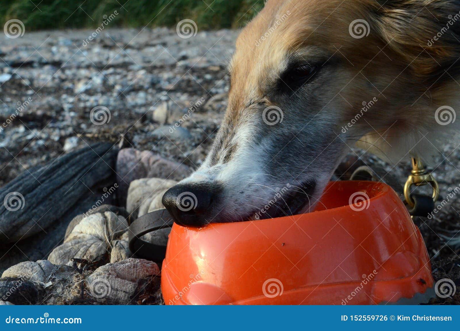 Barzoi het drinken leunt de neus op de rand van een waterkom vermijden krijgend een dierenartsneus