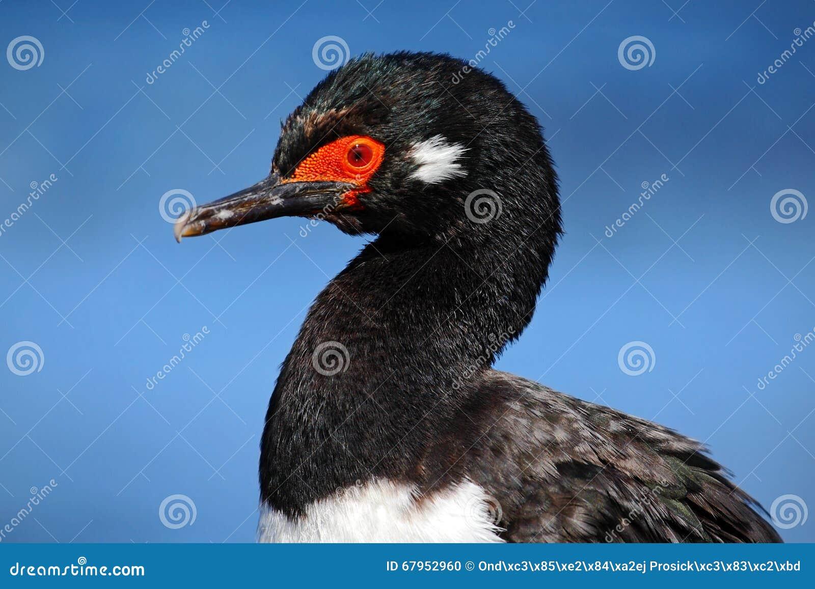Basculez la tapis à longs poils, magellanicus de Phalacrocorax, cormoran noir et blanc, portrait de détail, Falkland Islands