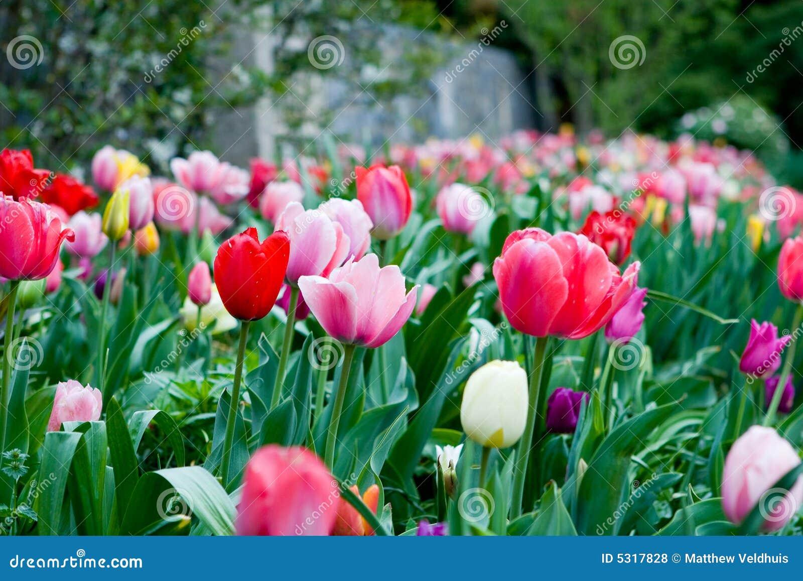 Download Base dei tulipani fotografia stock. Immagine di colori - 5317828