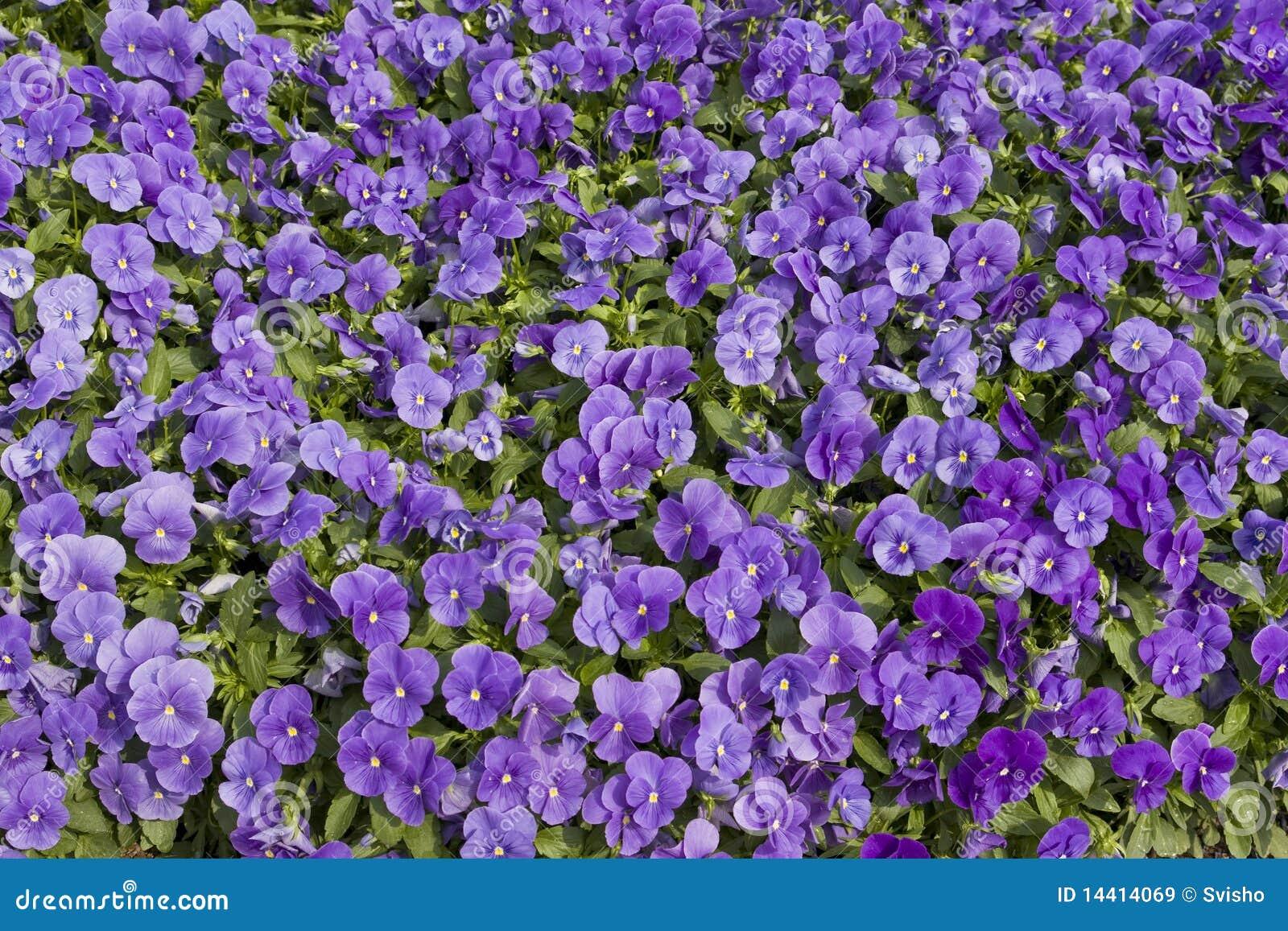 Base del giardino con i fiori viola immagine stock - Grossi fiori da giardino ...