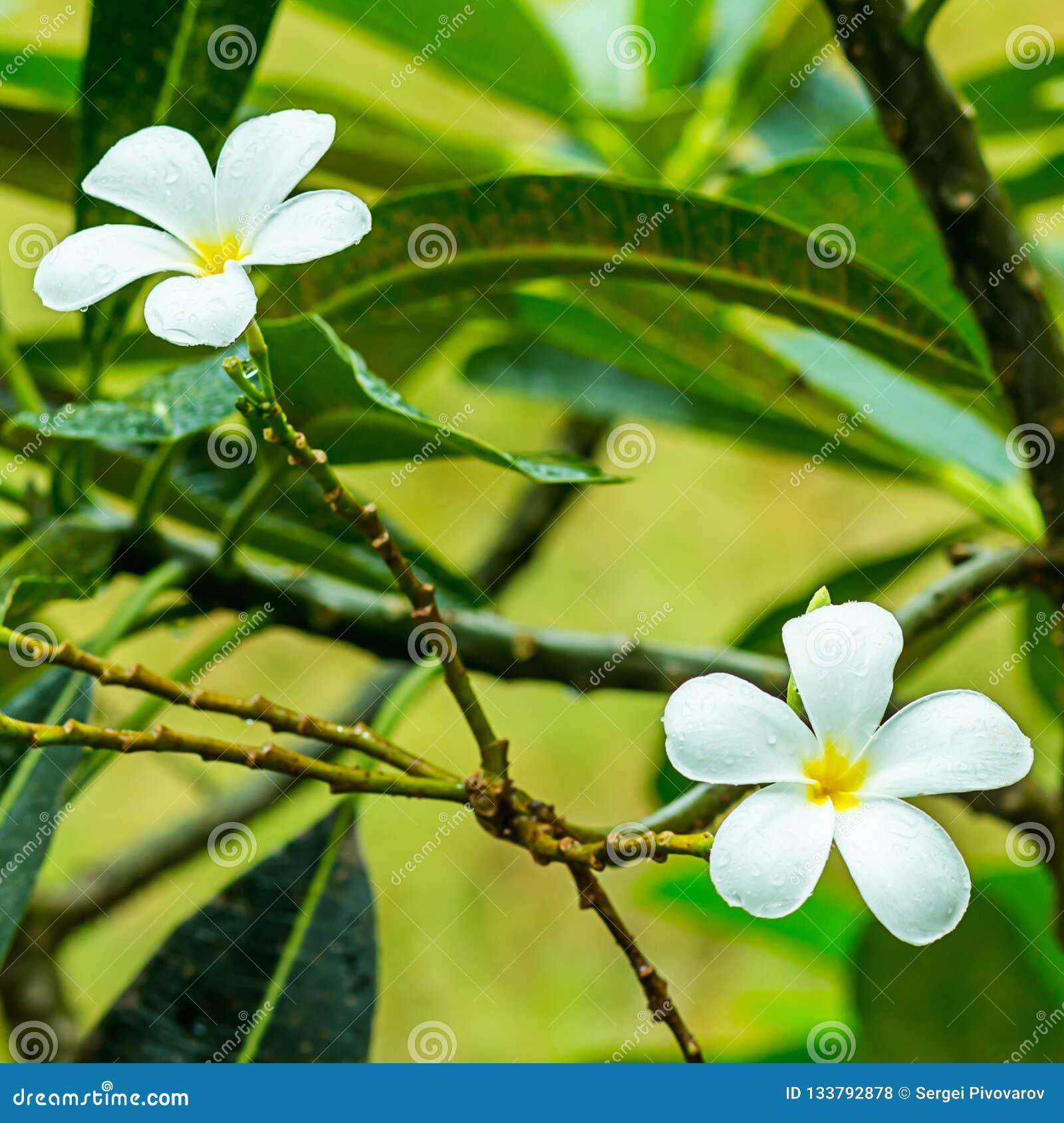 Base light magic background pair of white flowers Thailand plumeria symmetrical close-up tropical plant