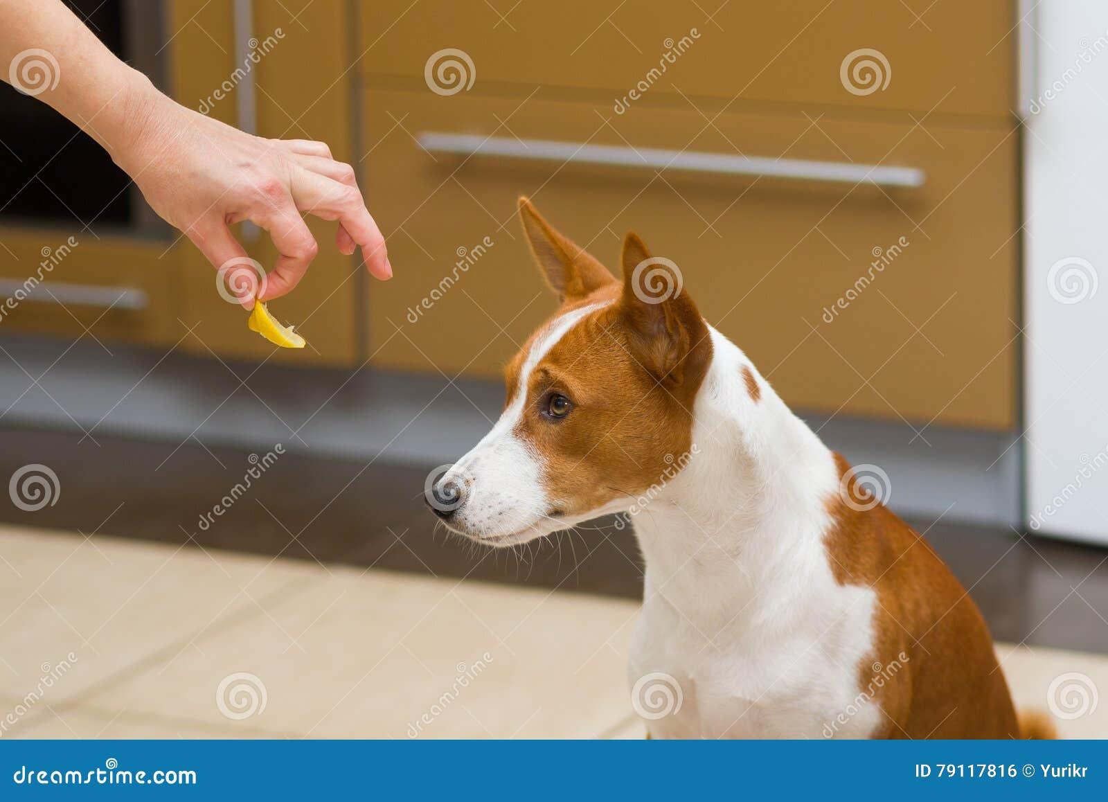 Basenji dog doesn t want to eat lemon - this is strange human food