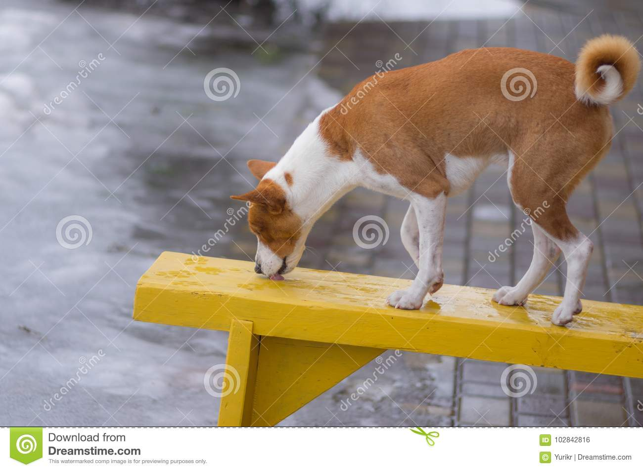 Basenji dog standing on a wet bench and licks water drops