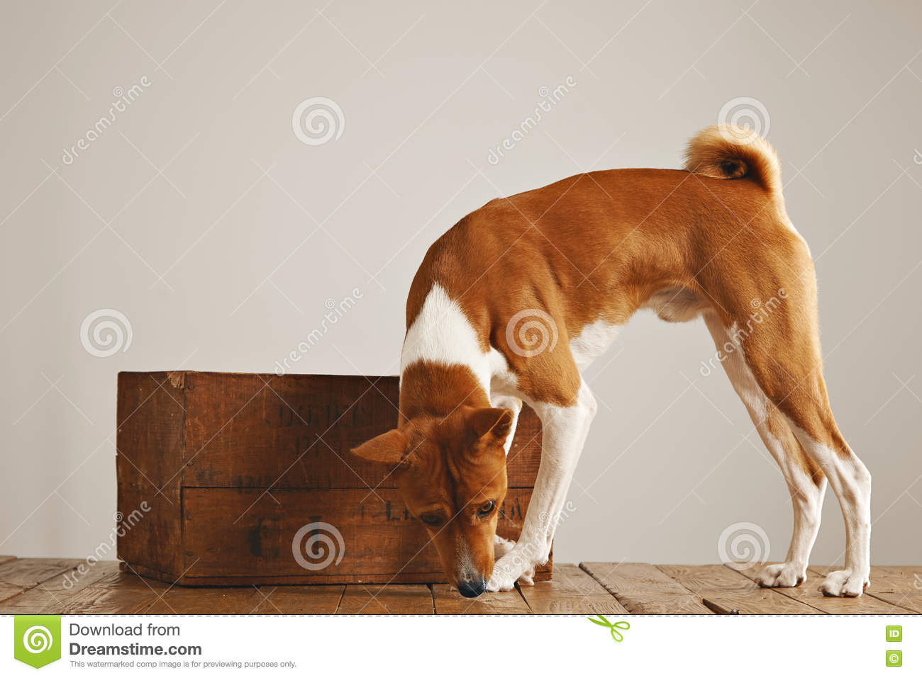 Basenji Dog With A Wooden Wine Crate Stock Image Image Of