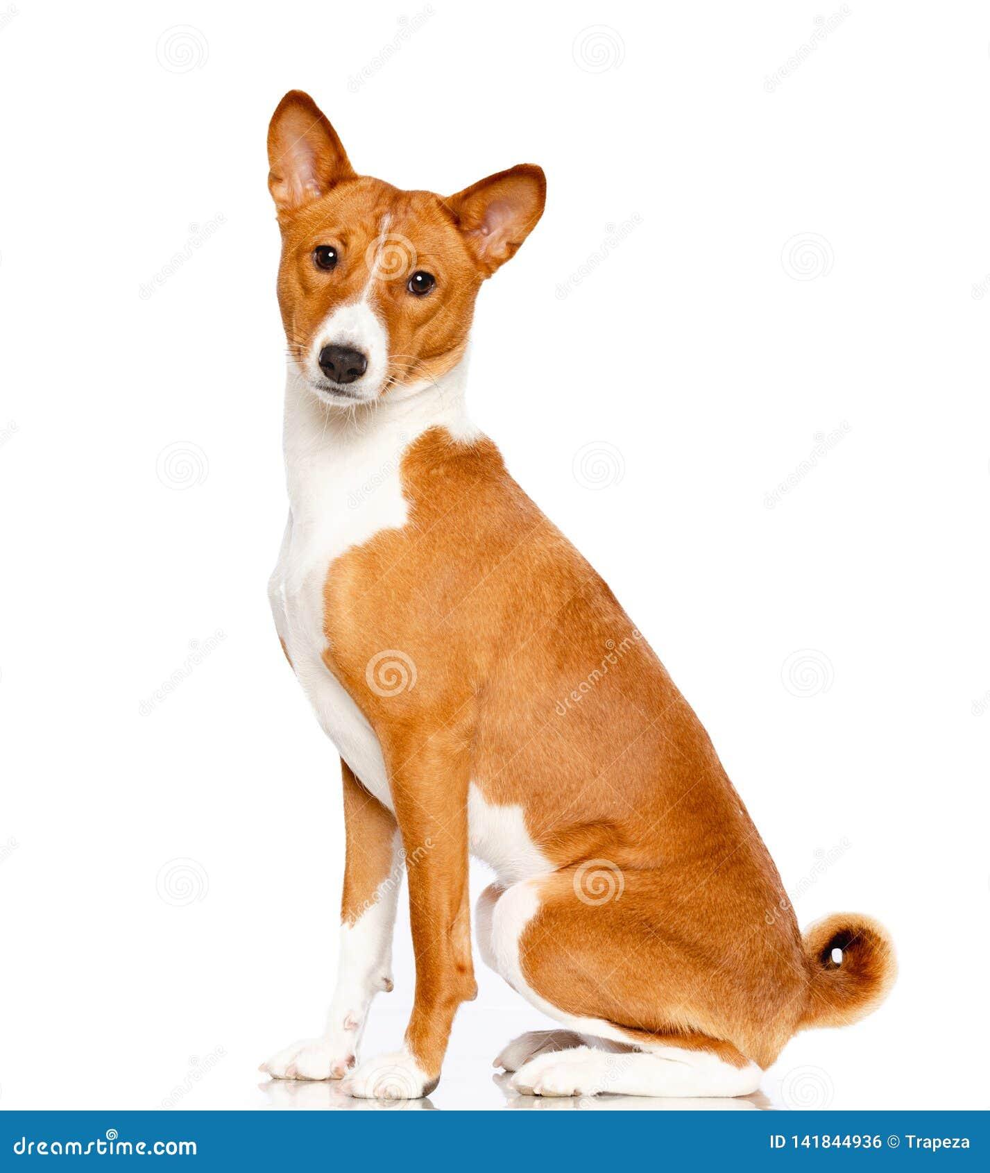 Basenji hund på vit bakgrund