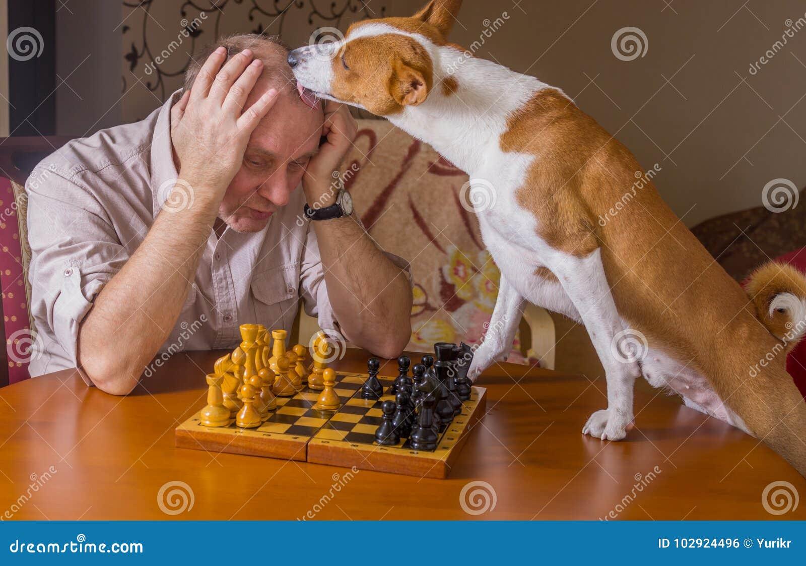 Basenjihond die desperately zijn tegenstander likken tijdens de toernooien van de schaakfamilie