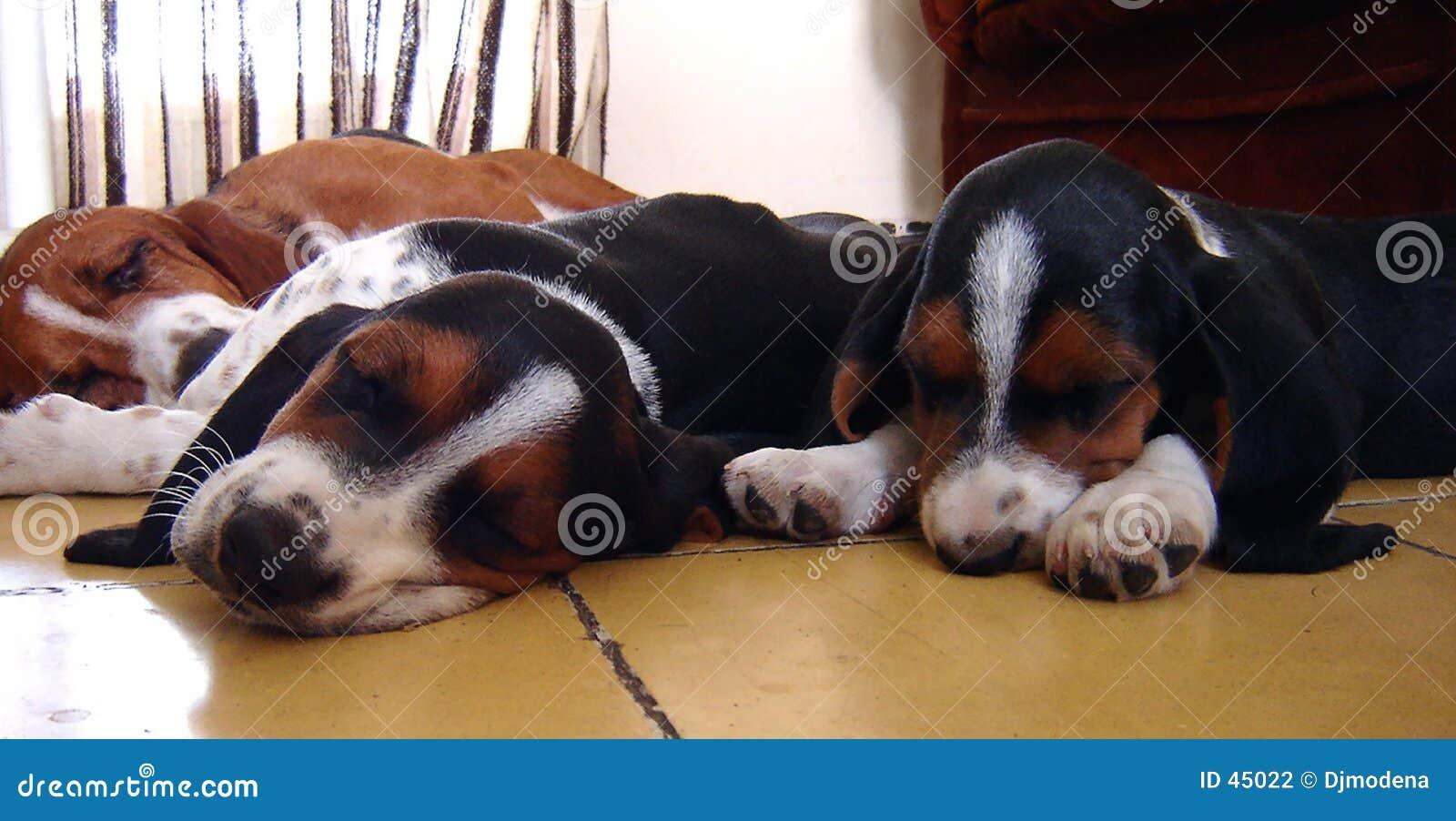 Basetów pies sleepping psów