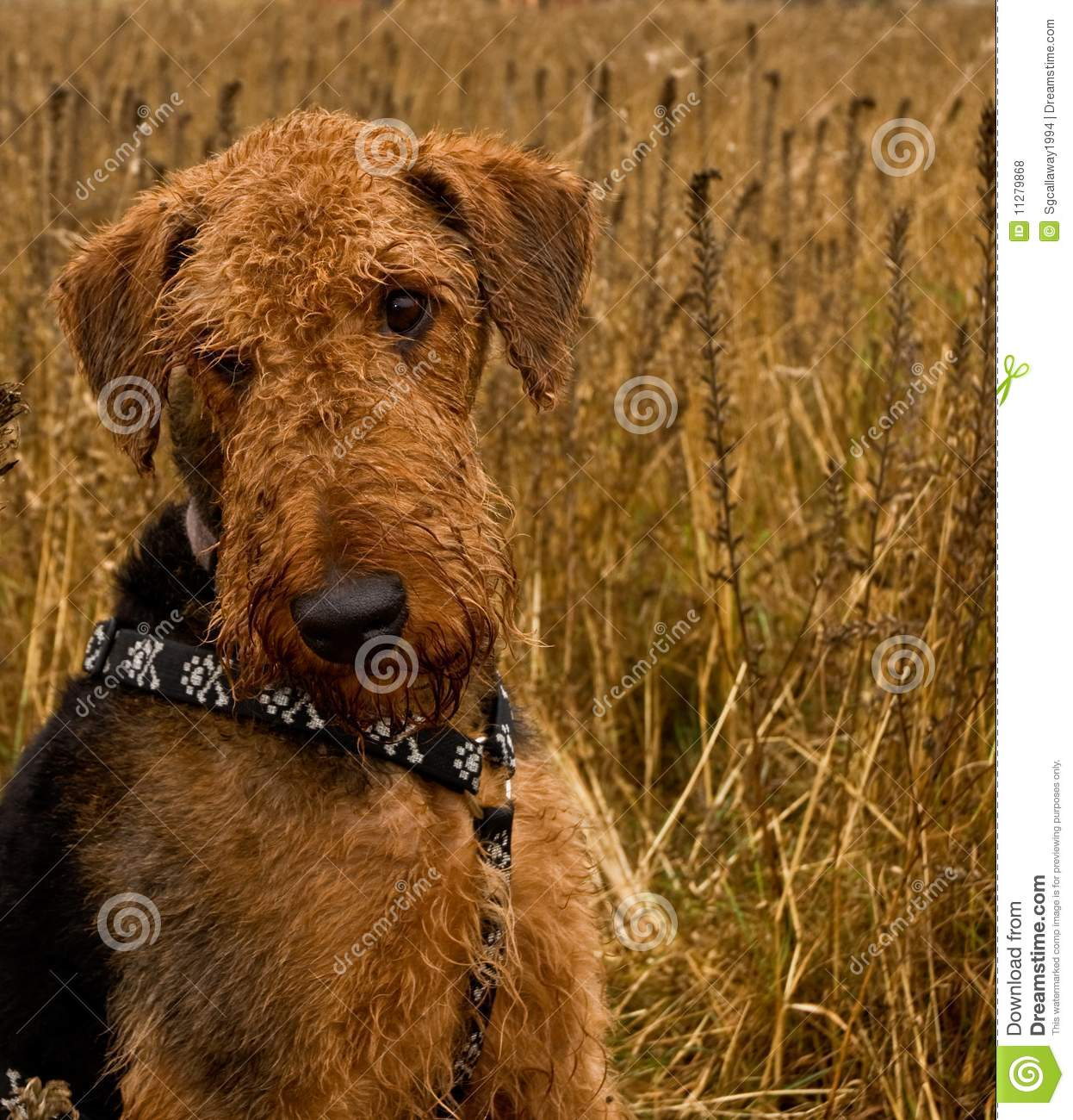 Wheat Red Dog http://www.dreamstime.com/royalty-free-stock-photos-bashful-airedale-terrier-dog-sits-wheat-field-image11279868