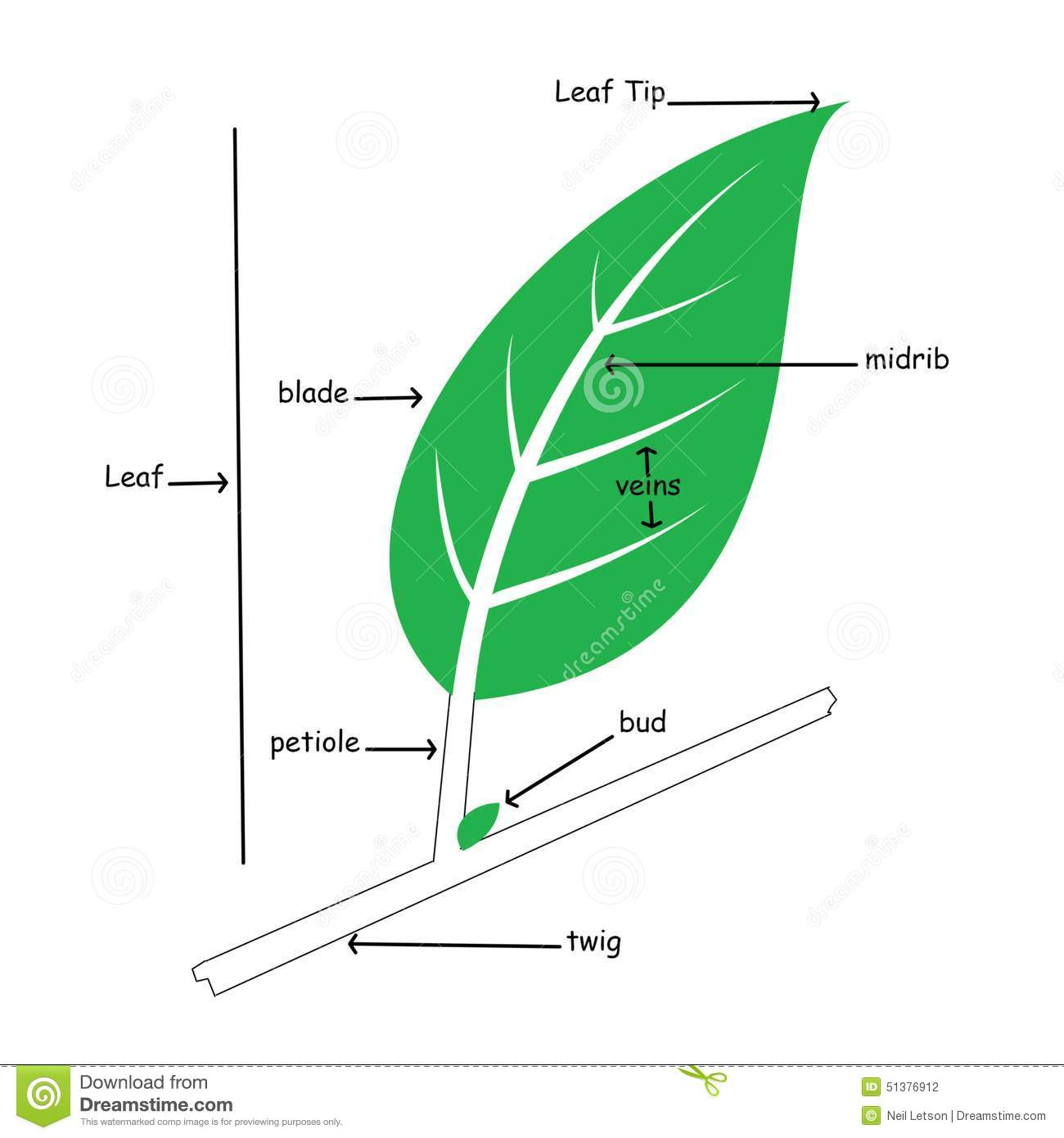 Basic Illustration Of Simple Leaf Anatomy Stock Illustration
