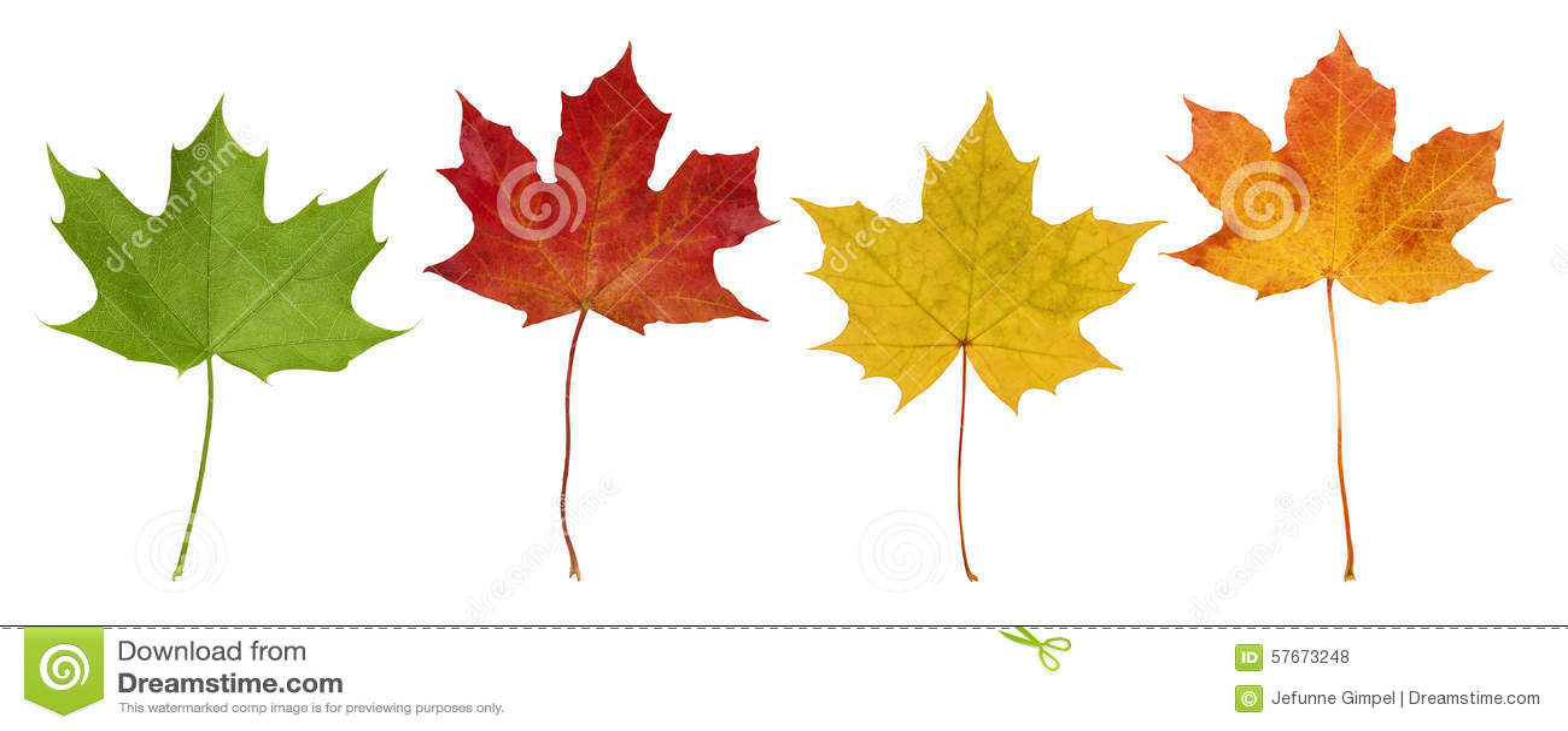 Basic_Maple_Leaves