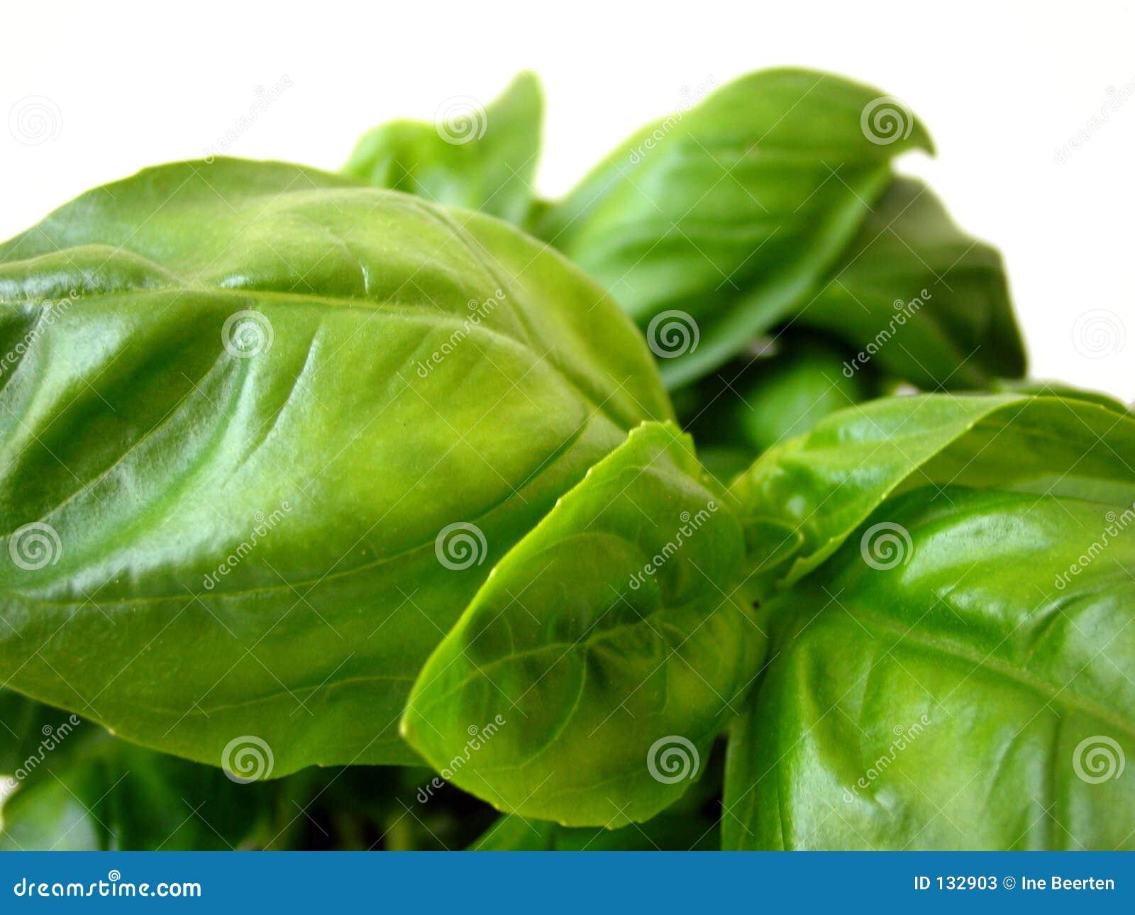 Basilów liście