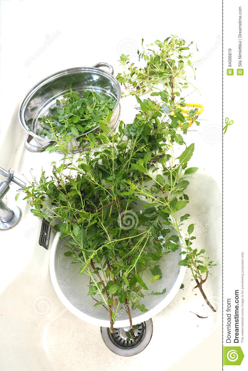 Basil Herb Wash Clean In Basin Stock Image Of Diet Activity Top Rust Download