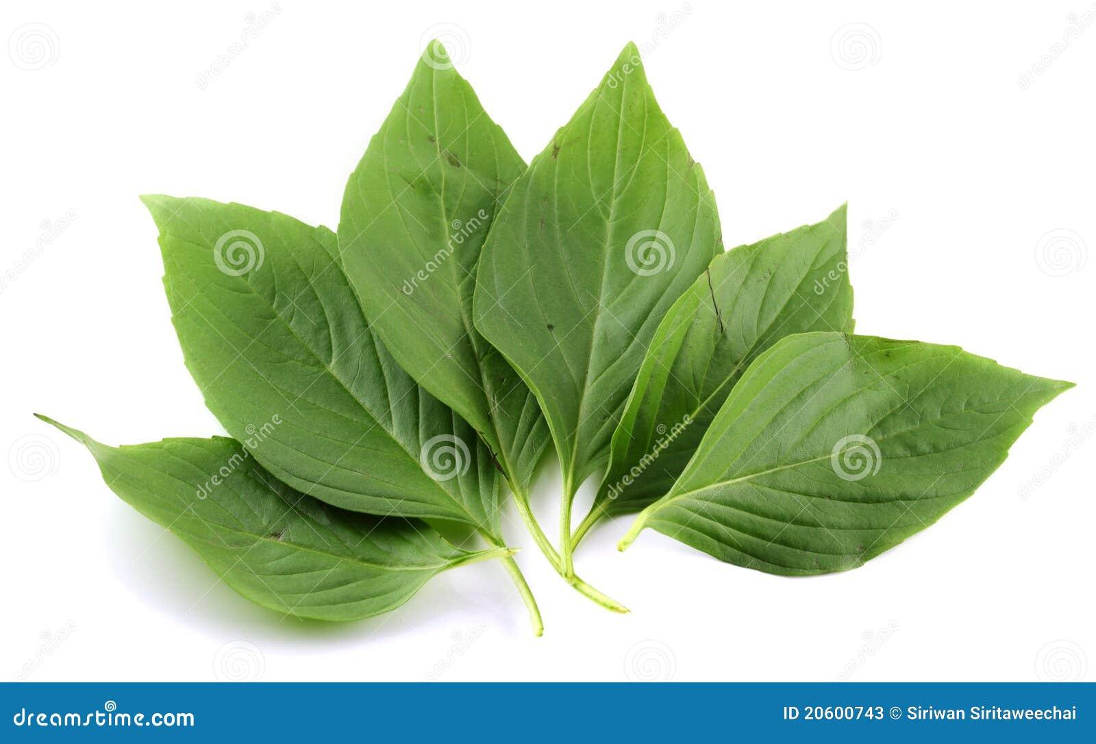 Basil Leaf Stock Photos - Image: 20600743
