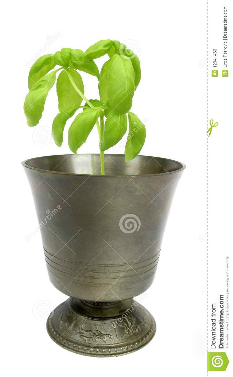 Basil plant in metal goblet stock photos image 12341463 - Aromatic herbs pots multiple benefits ...