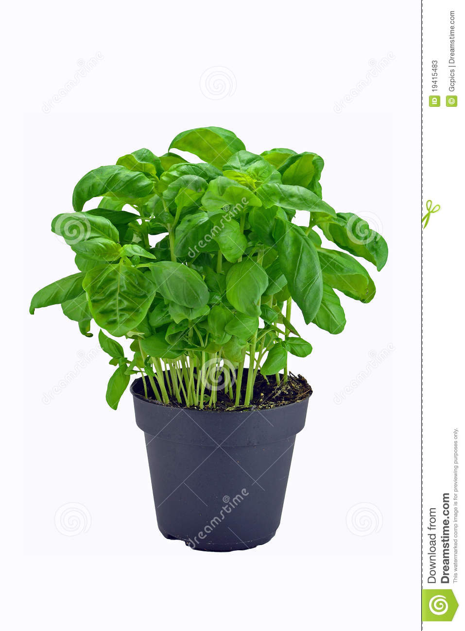 Basil plant in pot stock image image of herbs botany 19415483 - Seven tricks for healthier potted plants ...