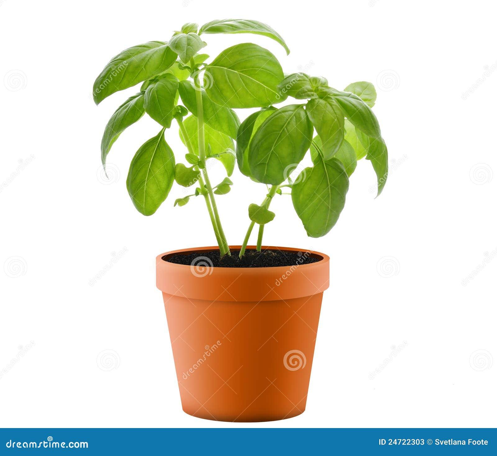 basil plant in a pot stock photos image 24722303. Black Bedroom Furniture Sets. Home Design Ideas
