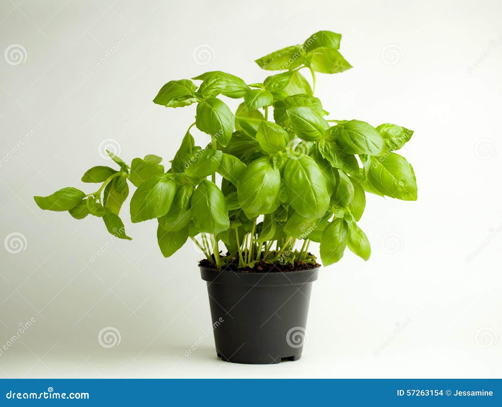 basil plant in a pot royalty free stock image 92483002. Black Bedroom Furniture Sets. Home Design Ideas