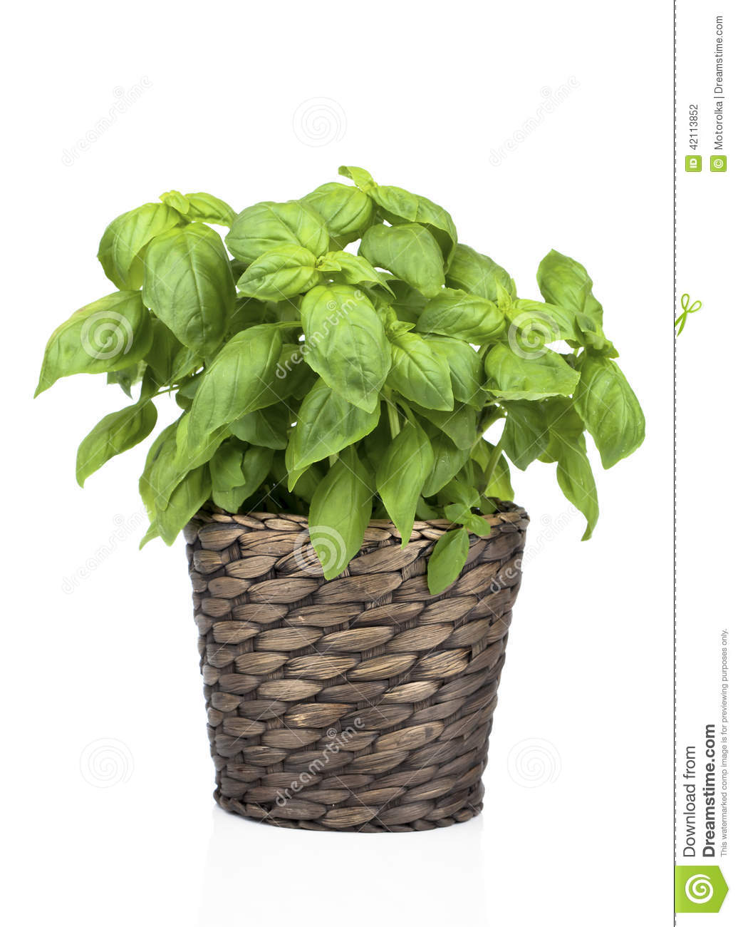basil plant in pot stock photo image of background aromatherapy 42113852. Black Bedroom Furniture Sets. Home Design Ideas